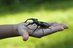 Insecte de scarabée de mâle dans une photo de main d'enfant d'enfant (cervus de Lucanus) image libre de droits