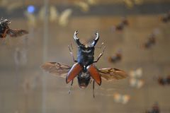 Insecte de scarabée de mâle grand dans le musée photos libres de droits