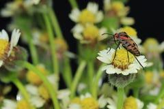 Insecte de scarabée sur la marguerite mexicaine Photographie stock libre de droits