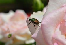 Insecte de scarabée sur une rose Images libres de droits