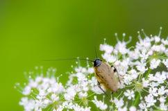 Insecte de sentinelle images stock