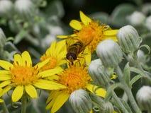 Insecte de Syrphidae Hoverfly sur une fleur jaune de marguerite, fin  photo libre de droits