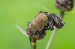 Insecte de tortue sur l'herbe dans le domaine photographie stock libre de droits