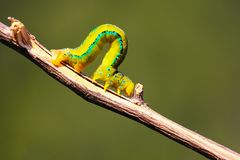Insecte Dhaka de Caterpillar Image stock