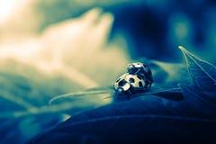 Insecte dramatique de dame de mariage Image libre de droits