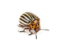 Insecte du Colorado illustration de vecteur
