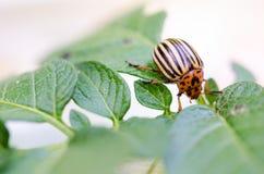 Insecte du Colorado Macro insecte de pommes de terre de parasite Image stock