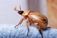 Insecte européen de juin de scarabée photographie stock libre de droits