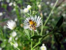 Insecte fleurissant Image libre de droits