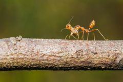 Insecte, insecte, fourmi rouge sur la feuille photographie stock