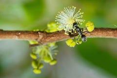 Insecte, insecte, fourmi rouge sur les fleurs jaunes Photographie stock