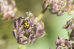 Insecte jaune de dame Photographie stock