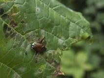 Insecte mangeant sur la feuille verte Photo libre de droits