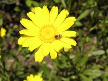 Insecte mangeant sur une fleur jaune photos stock