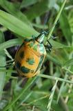 Insecte masculin de harlequin de ketmie photos libres de droits