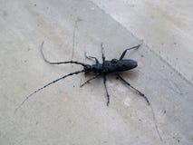 Insecte noir avec des palpeurs photos libres de droits
