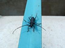 Insecte noir avec des palpeurs photographie stock libre de droits
