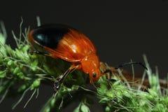 Insecte orange Photo stock