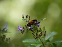 Insecte orange Images libres de droits