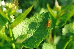 Insecte orange sur la feuille verte Photographie stock