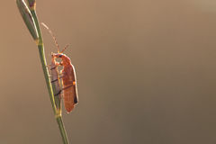 Insecte orange sur la tige d'herbe Photographie stock libre de droits