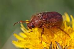 Insecte ou hanneton solsticial de mai Images stock