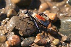 Insecte Patagonian Photographie stock libre de droits