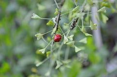 Insecte - plan rapproch? de coccinelle sur une plante verte photos stock