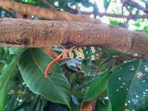 Insecte Pyrops Candelária de lanterne collant sur un longan de Dimocarpus d'arbre de Longan photographie stock libre de droits