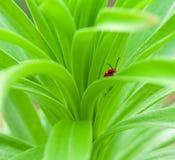 Insecte rouge Photos libres de droits