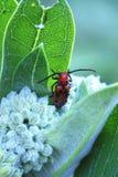 Insecte rouge Images libres de droits