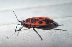 Insecte rouge avec des points Photographie stock