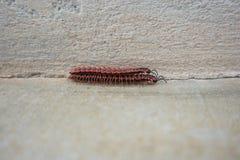 Insecte rouge de centipèdes Photos stock