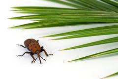 Insecte rouge de charançon images libres de droits