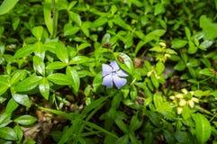 Insecte rouge de scarab?e sur une fleur de violette bleue de for?t photographie stock libre de droits