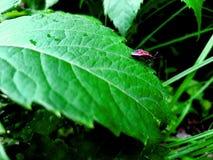 Insecte rouge de soldat dans l'herbe de vallée verte photo libre de droits
