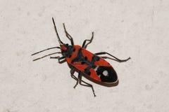 Insecte sur le mur photo stock image 55032027 - Insecte rouge et noir ...