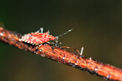 Insecte rouge Masoala de bouclier images stock