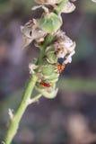 Insecte rouge sur la feuille sèche Photo libre de droits