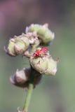 Insecte rouge sur la feuille sèche Image libre de droits