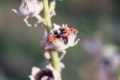 Insecte rouge sur la feuille sèche Images libres de droits
