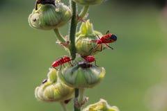 Insecte rouge sur la feuille sèche Photographie stock libre de droits