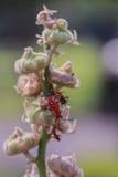 Insecte rouge sur la feuille sèche Photos libres de droits