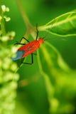 Insecte rouge sur les lames vertes Photo stock