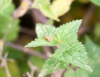Insecte simple de dock de petit nouveau bébé se reposant sur le marginatus de Coreus de feuille image stock