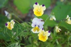 Insecte sur des fleurs de pensées Images stock
