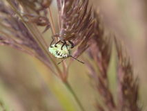 Insecte sur l'épi Images libres de droits