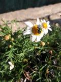 Insecte sur la fleur image libre de droits