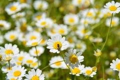 Insecte sur la fleur de camomille photo libre de droits