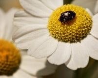 Insecte sur la fleur jaune Photo stock